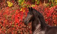 klacz-fryz-portret-czerwone-wino-jesien.jpg