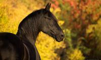 klacz-fryzyjska-portret-jesien.jpg